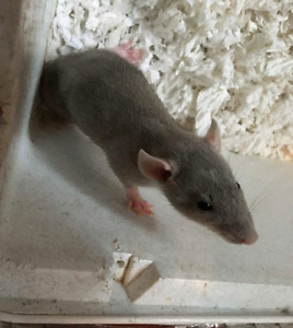 FREE 2 male rats to a good home