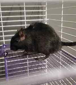 Gerbil with multi level cage