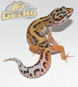 Jungle Leopard Gecko (het. Bell poss. het Eclipse)