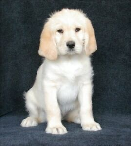 Labradoodle Puppies - Ready to go