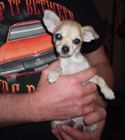 LITTLE FAWN CHIHUAHUA PUPPY