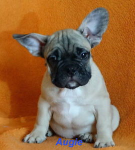 Adorable Male Fawn French bulldog Puppies Ready for adoption!!