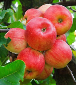Free Apple Picking from Your Tree (NE)