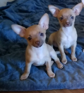 ♡Two Precious Little Chihuahua Puppies♡