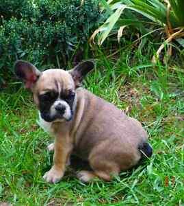 Purebreed French Bulldog boys & girlsHealth Guarantee