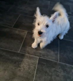 5mth old female west highland terrier