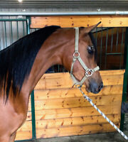 ** PUREBRED ARABIAN ** PRICE REDUCED!!