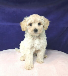 Maltipoo Puppies! (Maltese X Toy Poodle) **MICRO SIZE**