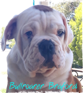 Australian Bulldogs 1 Male Available