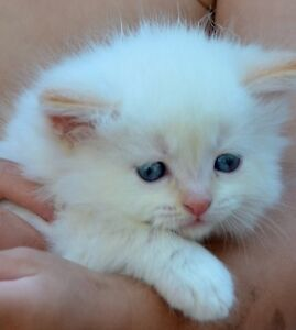 Angora Ragdoll Kittens for sale