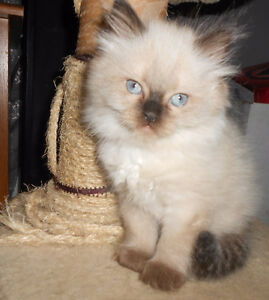 Purebred Female Himalayan Seal Point Kitten for Sale
