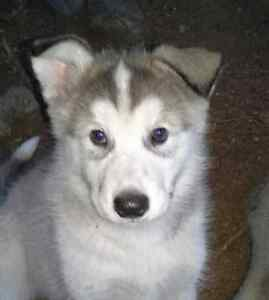Giant Alaskan Malamute puppies for sale