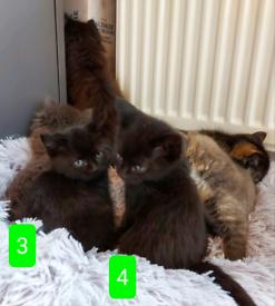 6 Mixed Ragdoll x Kittens