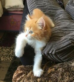 *found amazing home* - Gorgeous, long-haired ginger kitten