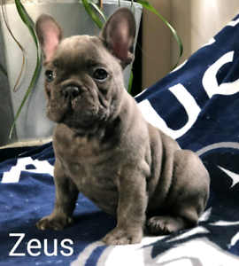Blue French Bulldog | Kijiji in Ontario  - Buy, Sell & Save