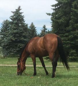 2014, Registered APHA mare, 14.3 HH