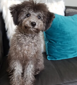 Poodle, Toy size