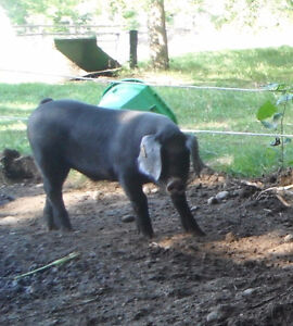 Get more bacon from a LARGE BLACK PIG!