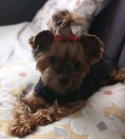 Yorkshire Terrier Adorable Puppies
