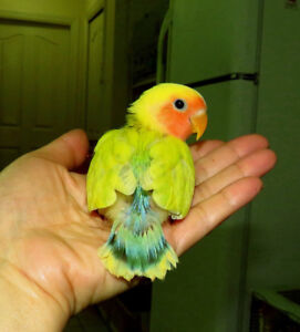 super tame handfed lovebird baby BOY==ON HOLD