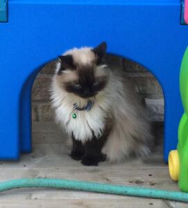 4 year old male himalayan/Siamese male cat