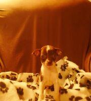 Magnifique Chihuahua Couleur Rare Prêt à Partir reste 1 mâle