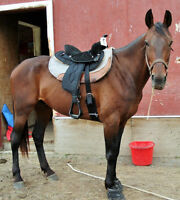 Standarbred horse and  tack for sale