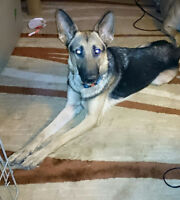 1 year old Female German shepherd