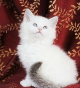 Lilac Bi-Colour Ragdoll Girl Kitten is Available for Adoption