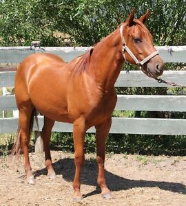 COPPER SORREL  4 YEAR OLD AQHA MARE