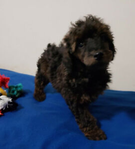 Beautiful Miniature Poodle puppies