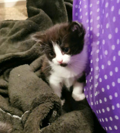 Kitten For Sale will be ready 24/01/2021