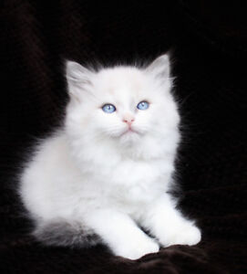 Bi-Color Ragdoll Kittens are available for Rehoming