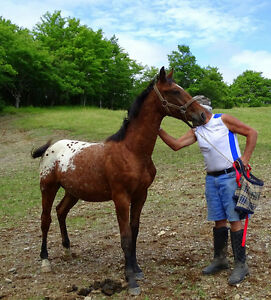 Sportaloosa colt for sale