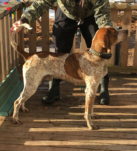 1 1/2 yr old Coonhound male