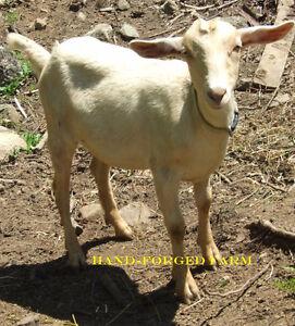 Doeling for sale  (goat)