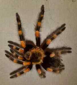 Female Brachypelma annitha  with full set up for sale