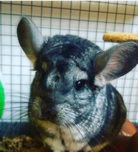 Male and female 5yr old chinchillas