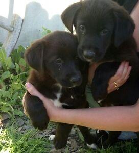 Border Lab Puppies #0027