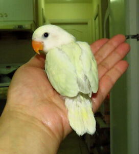 handfed baby lovebird (whiteface )==ON HOLD