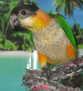 Black Capped Caique Baby