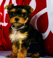 Champion Sired Yorkshire terriers for sale