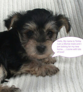 Male Morkie (Maltese/Yorkie) Puppy Looking for a Good Home