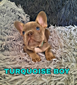 Reduced KC Registered Top quality litter of 9 french bulldog puppies