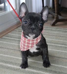CKC Reg'd French Bulldog pups, Females, 1 Black and 1 Brindle