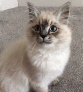 Adopt Cats Kittens Locally In St Catharines Pets Kijiji