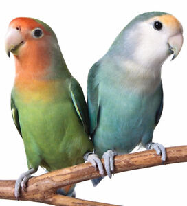 Looking for a baby handfed lovebird