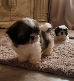 3 shitzu girls 8 weeks old