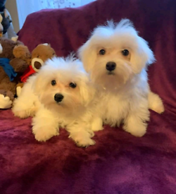 Maltese puppies looking for new loving home