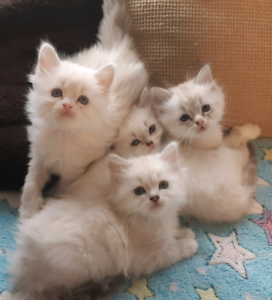 Fluffy kittens Ragdoll/Chinchilla/ Bengal & DSH